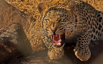 Animalia - Leopard Wallpapers and Backgrounds ID : 454426
