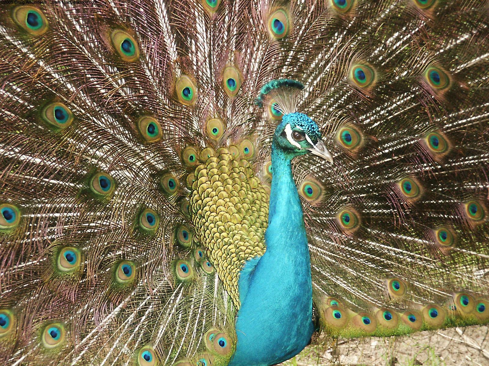 White Blue Peacock Wallpaper Softland