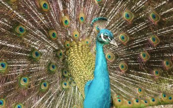 Animal - Peacock Wallpapers and Backgrounds ID : 455464