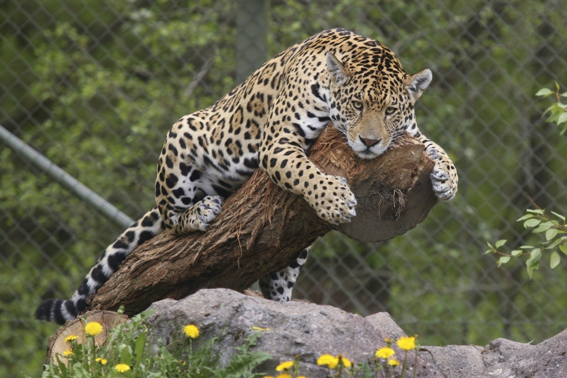 Jaguar full hd wallpaper and background image 2048x1365 - Jaguar animal hd wallpapers ...