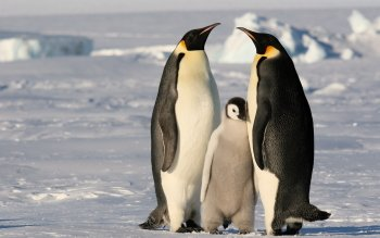 Animal - Emperor Penguin Wallpapers and Backgrounds ID : 456133
