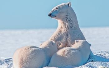 Animal - Polar Bear Wallpapers and Backgrounds ID : 458686