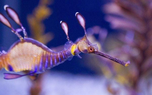 Animal Leafy Seadragon Seahorse HD Wallpaper | Background Image