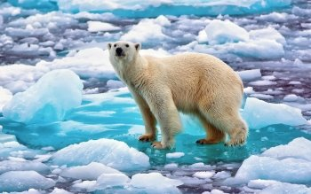 Animal - Polar Bear Wallpapers and Backgrounds ID : 459848
