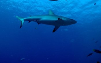 Animal - Shark Wallpapers and Backgrounds ID : 461185