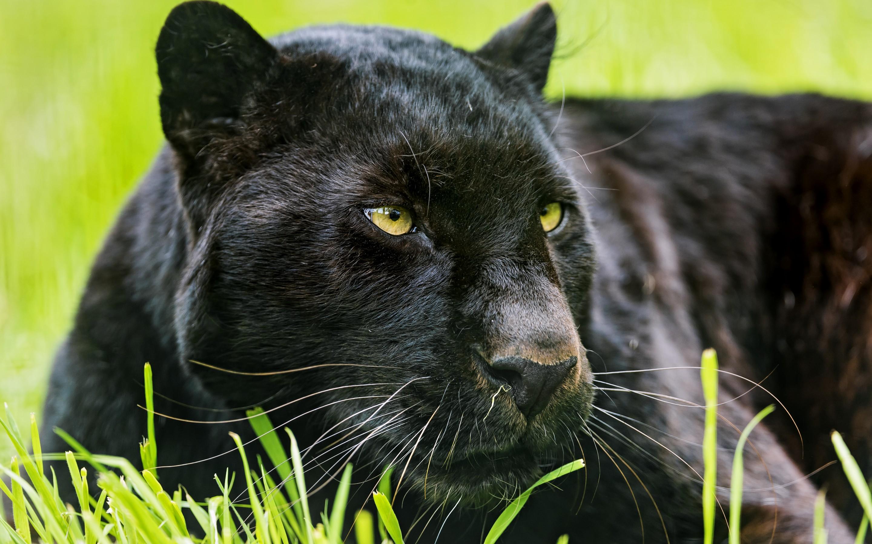 Black Panther Animal Wallpapers: Black Panther Computer Wallpapers, Desktop Backgrounds