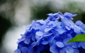 Earth - Hydrangea Wallpapers and Backgrounds ID : 462227
