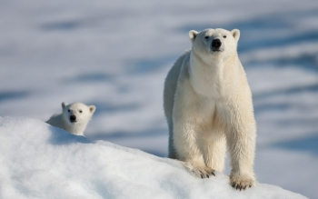 Animal - Polar Bear Wallpapers and Backgrounds ID : 462955
