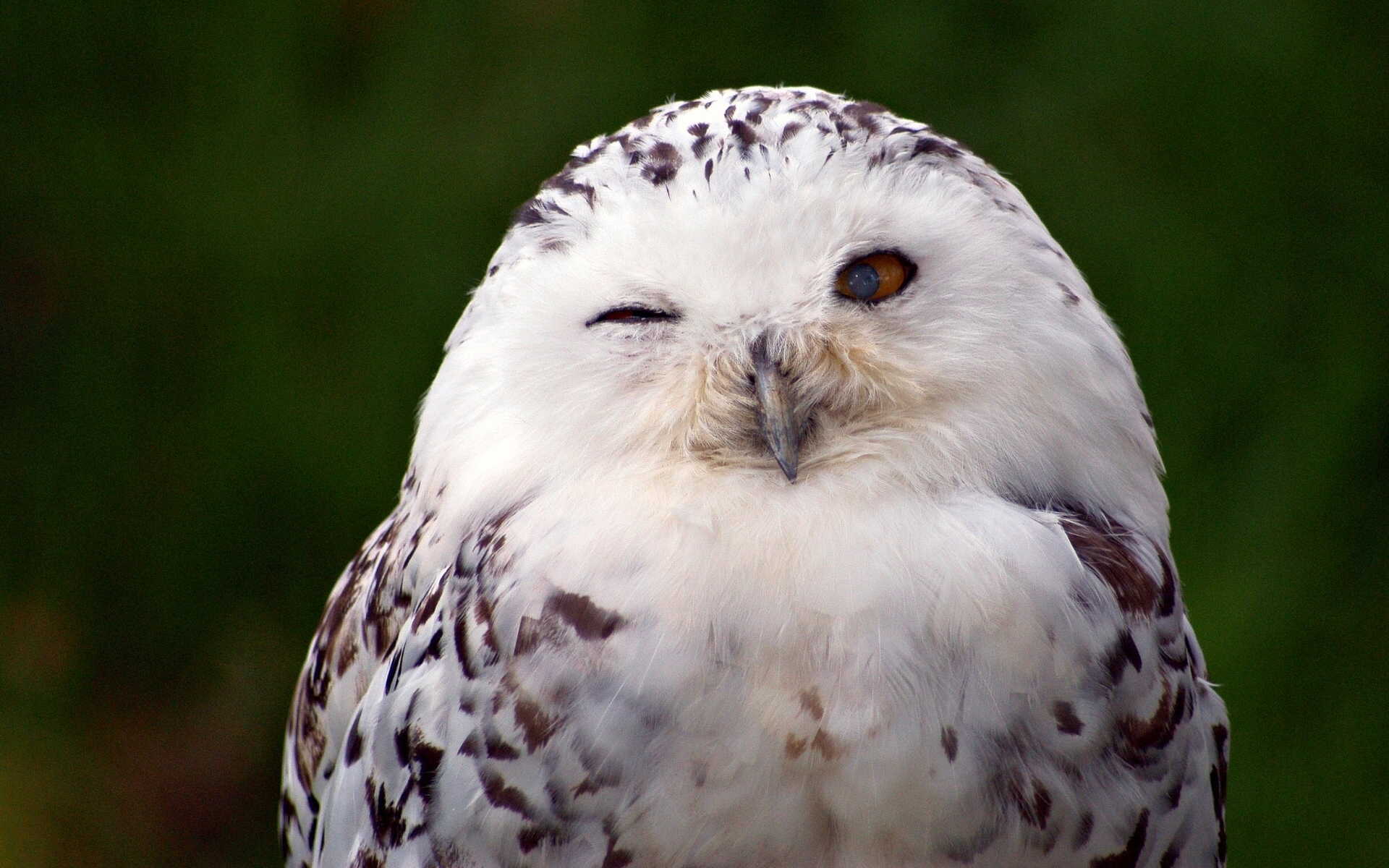 snowy owl full hd wallpaper and background 1920x1200