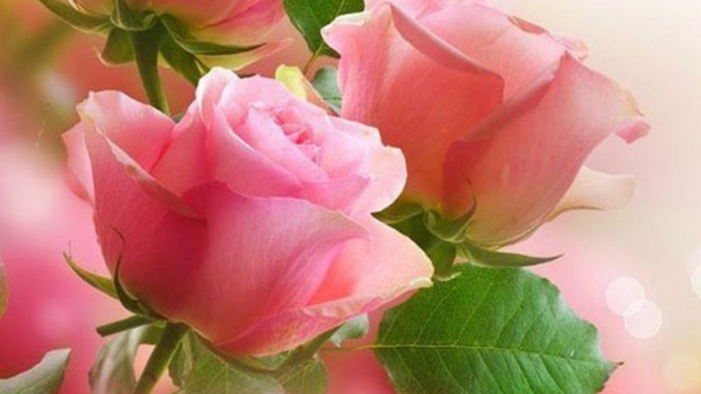 Pink roses wallpaper and background image 1366x768 id - Pink rose black background wallpaper ...
