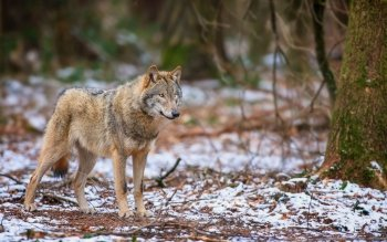 Animal - Wolf Wallpapers and Backgrounds ID : 463697