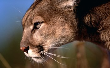 Animal - Cougar Wallpapers and Backgrounds ID : 464243