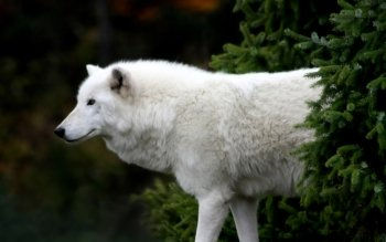 Animal - Wolf Wallpapers and Backgrounds ID : 464398