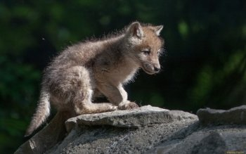 Dierenrijk - Wolf Wallpapers and Backgrounds ID : 464410
