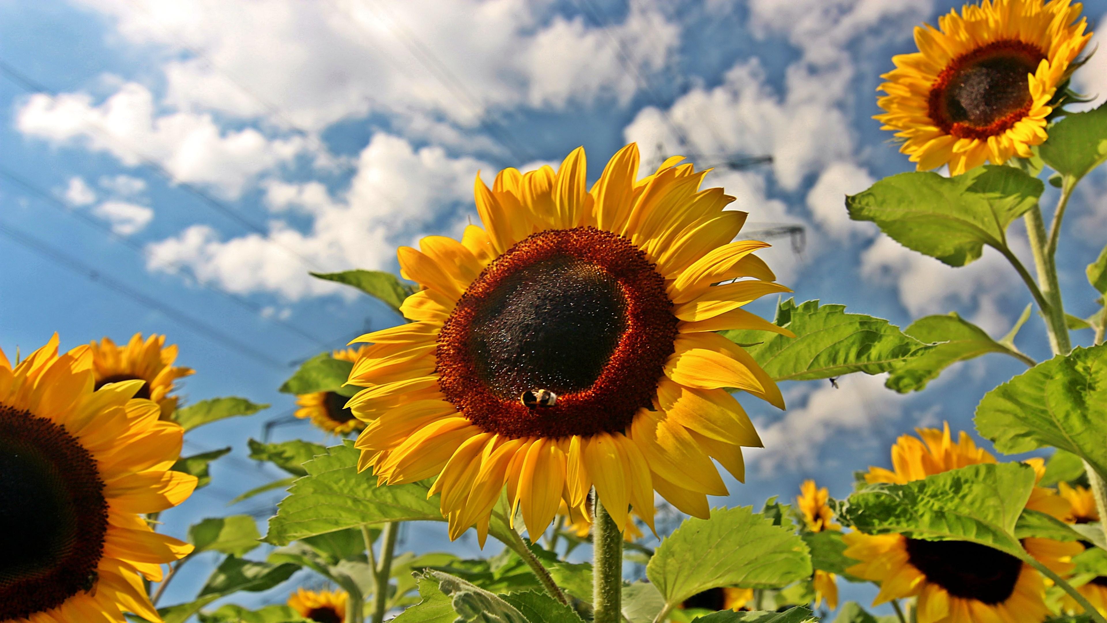 Sunflower 4k Ultra HD Wallpaper   Background Image ...