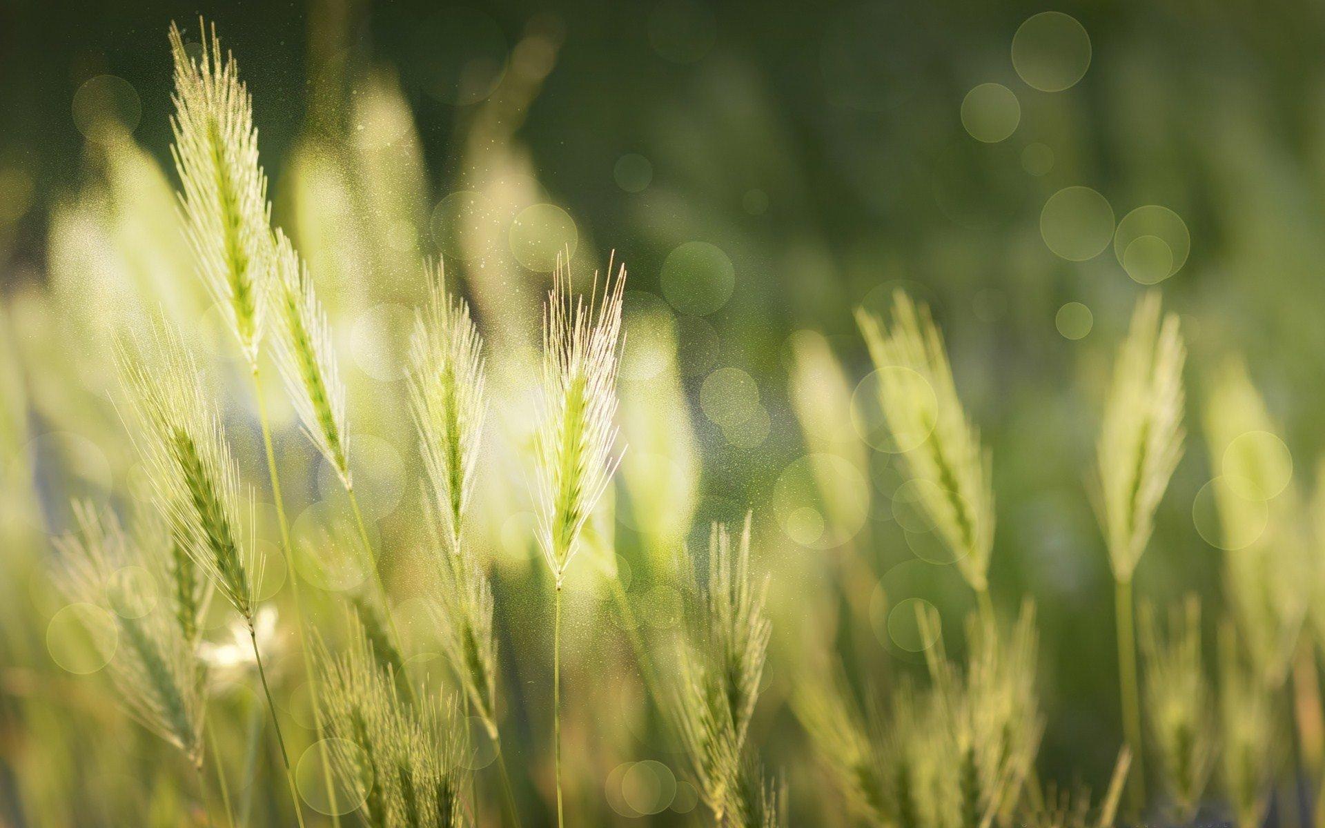 Earth - Wheat  Rice Bokeh Wallpaper