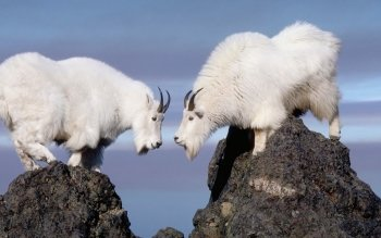Animal - Mountain Goat Wallpapers and Backgrounds ID : 466618