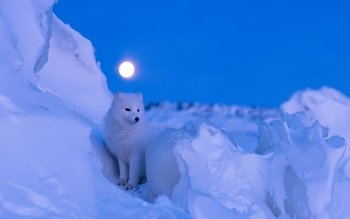 Animal - Arctic Fox Wallpapers and Backgrounds ID : 466749