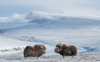 Animal - Muskox Wallpapers and Backgrounds ID : 466755