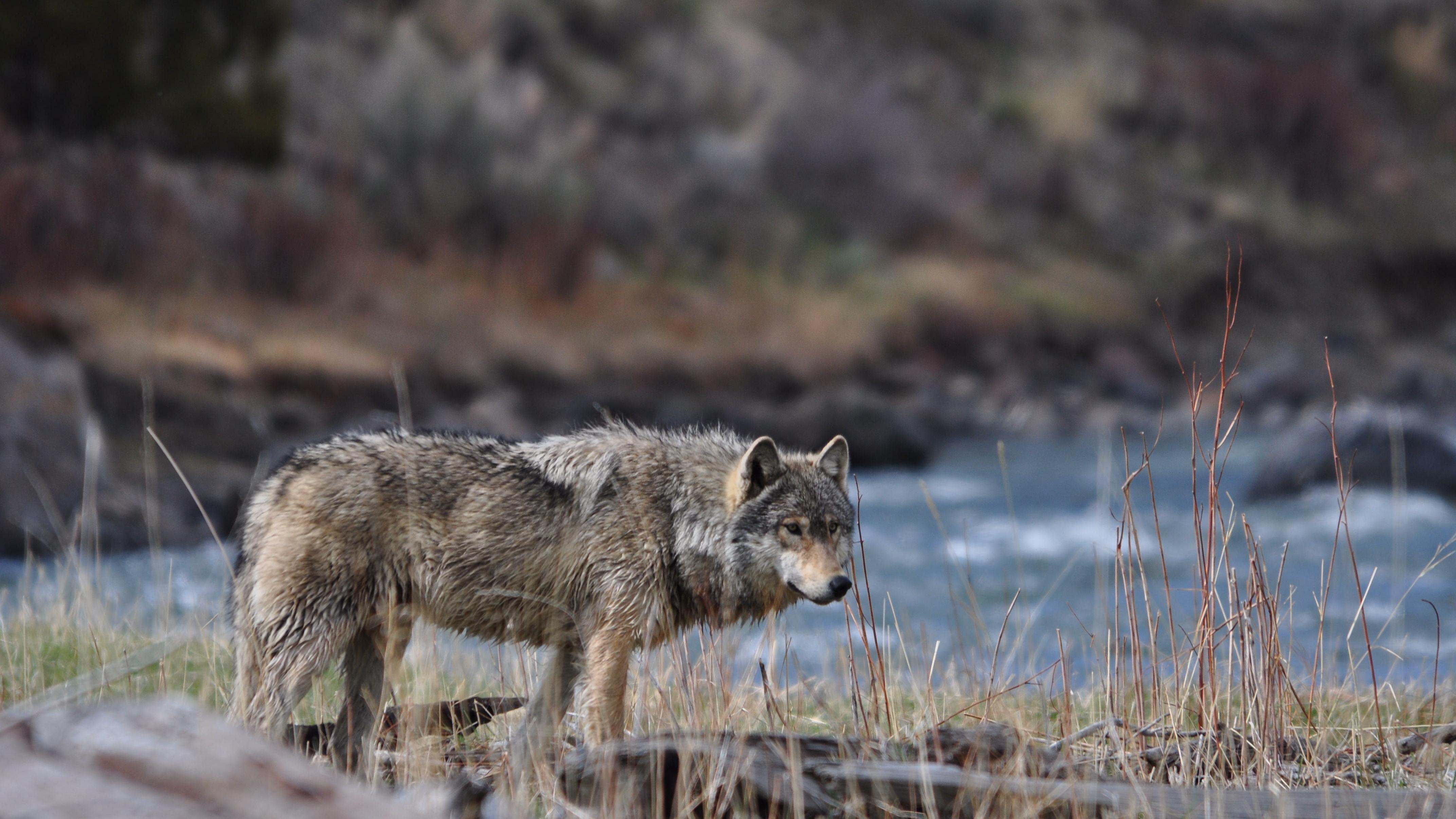 Wolf 4k Ultra HD Wallpaper | Background Image | 4288x2412 ...
