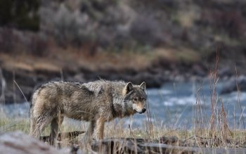 Dierenrijk - Wolf Wallpapers and Backgrounds ID : 467608