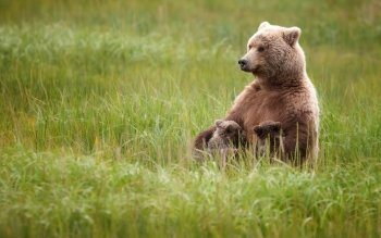Animal - Bear Wallpapers and Backgrounds ID : 468359