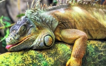 Animal - Iguana Wallpapers and Backgrounds ID : 468933