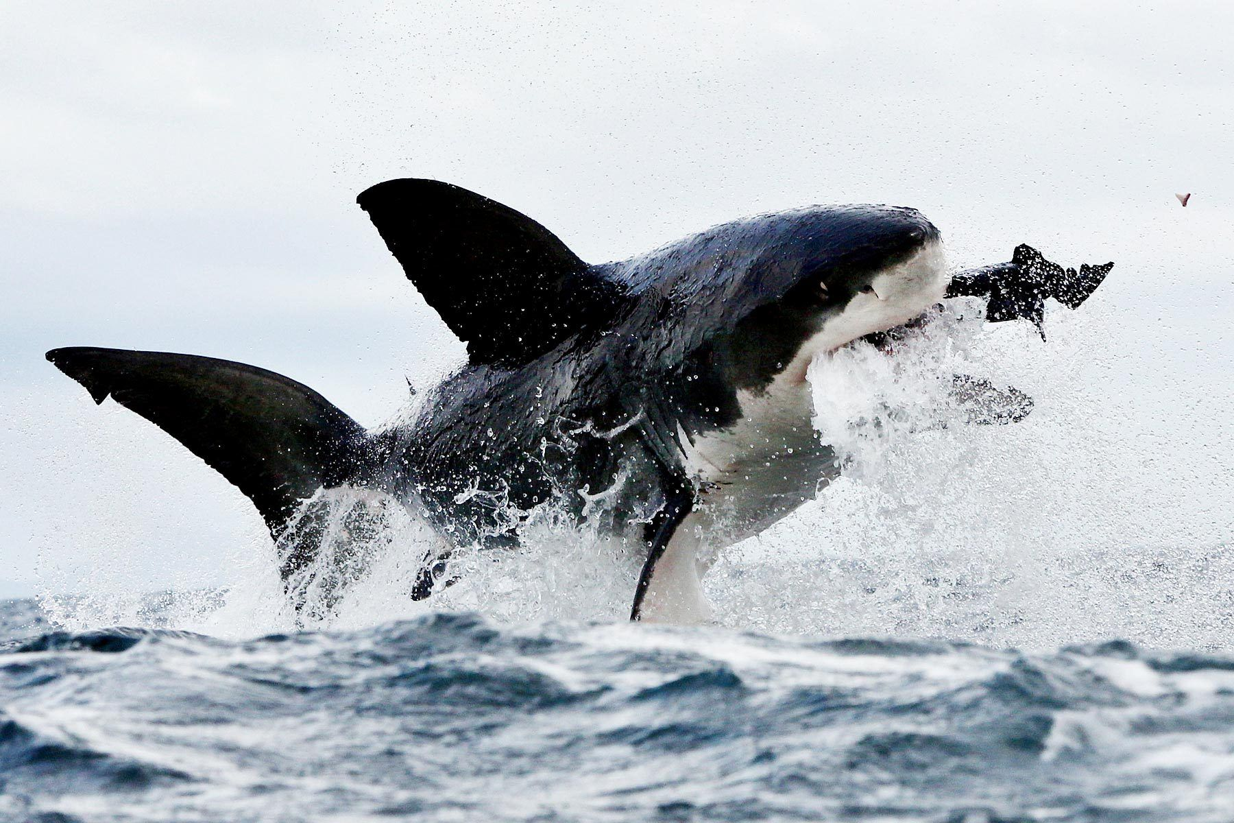 White Shark Wallpaper And Background Image