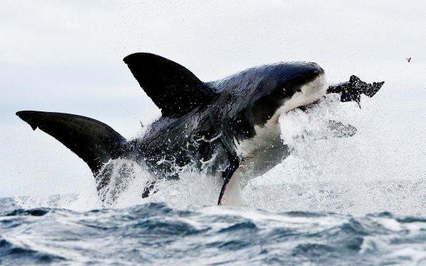 Animal Great White Shark Sharks Shark HD Wallpaper   Background Image