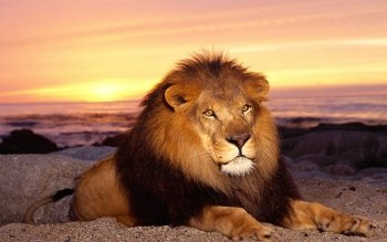 Animal - Lion Wallpapers and Backgrounds ID : 470356