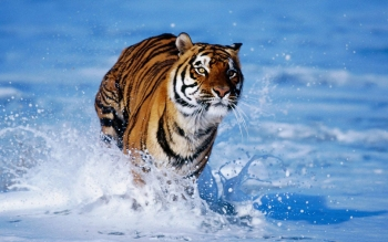 Animal - Tiger Wallpapers and Backgrounds ID : 471890
