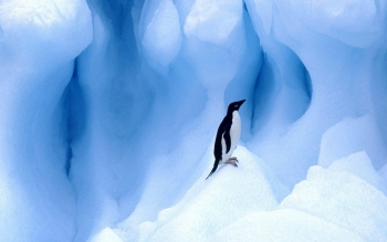 Animal - Penguin Wallpapers and Backgrounds ID : 473645