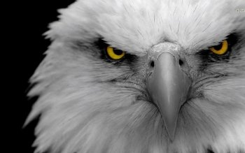 Animal - Eagle Wallpapers and Backgrounds ID : 475700