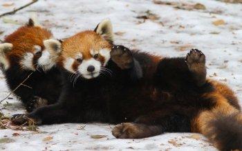 Animaux - Panda Roux Fonds d'écran et Arrière-plans ID : 476275