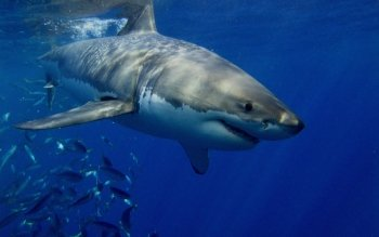 Animal - Great White Shark Wallpapers and Backgrounds ID : 478474