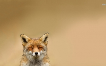 Animal - Fox Wallpapers and Backgrounds ID : 480312