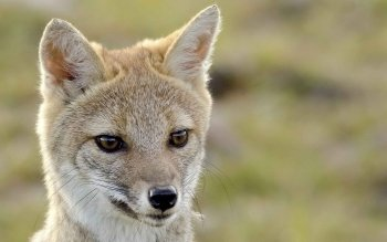 Animal - Fox Wallpapers and Backgrounds ID : 480823