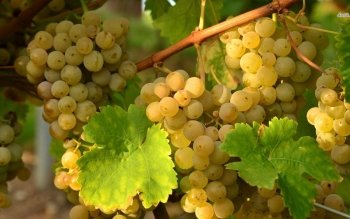 Food - Grapes Wallpapers and Backgrounds ID : 481380