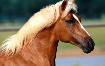 Animal - Horse Wallpapers and Backgrounds ID : 489273