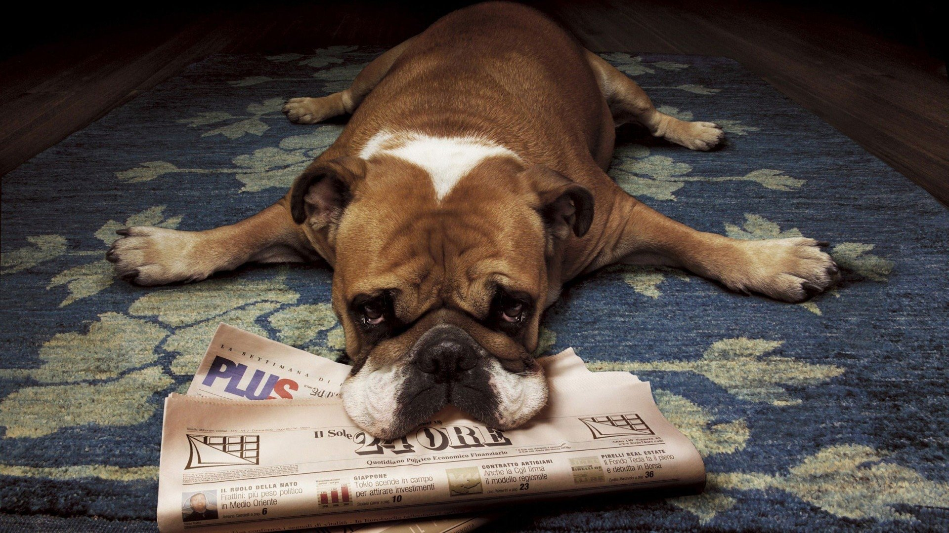 Bulldog With Newspaper Hd Wallpaper Background Image 1920x1080