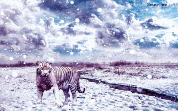 Dierenrijk - White Tiger Wallpapers and Backgrounds ID : 491946