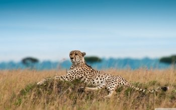 Djur - Cheetah Wallpapers and Backgrounds ID : 492148