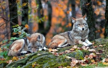 Animal - Wolf Wallpapers and Backgrounds ID : 492153