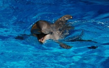 Animal - Dolphin Wallpapers and Backgrounds ID : 492638