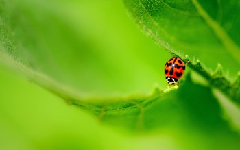 Animal - Ladybug Wallpapers and Backgrounds ID : 493229