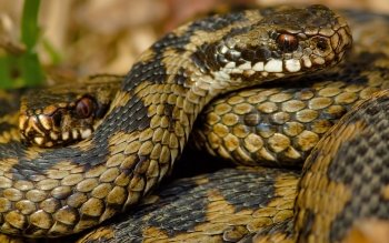 Animal - Snake Wallpapers and Backgrounds ID : 495938