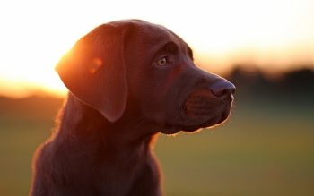 Animal - Labrador Wallpapers and Backgrounds ID : 496398