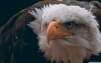 Animal - Eagle Wallpapers and Backgrounds ID : 497100
