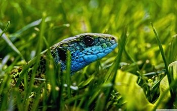 Animal - Lizard Wallpapers and Backgrounds ID : 497509
