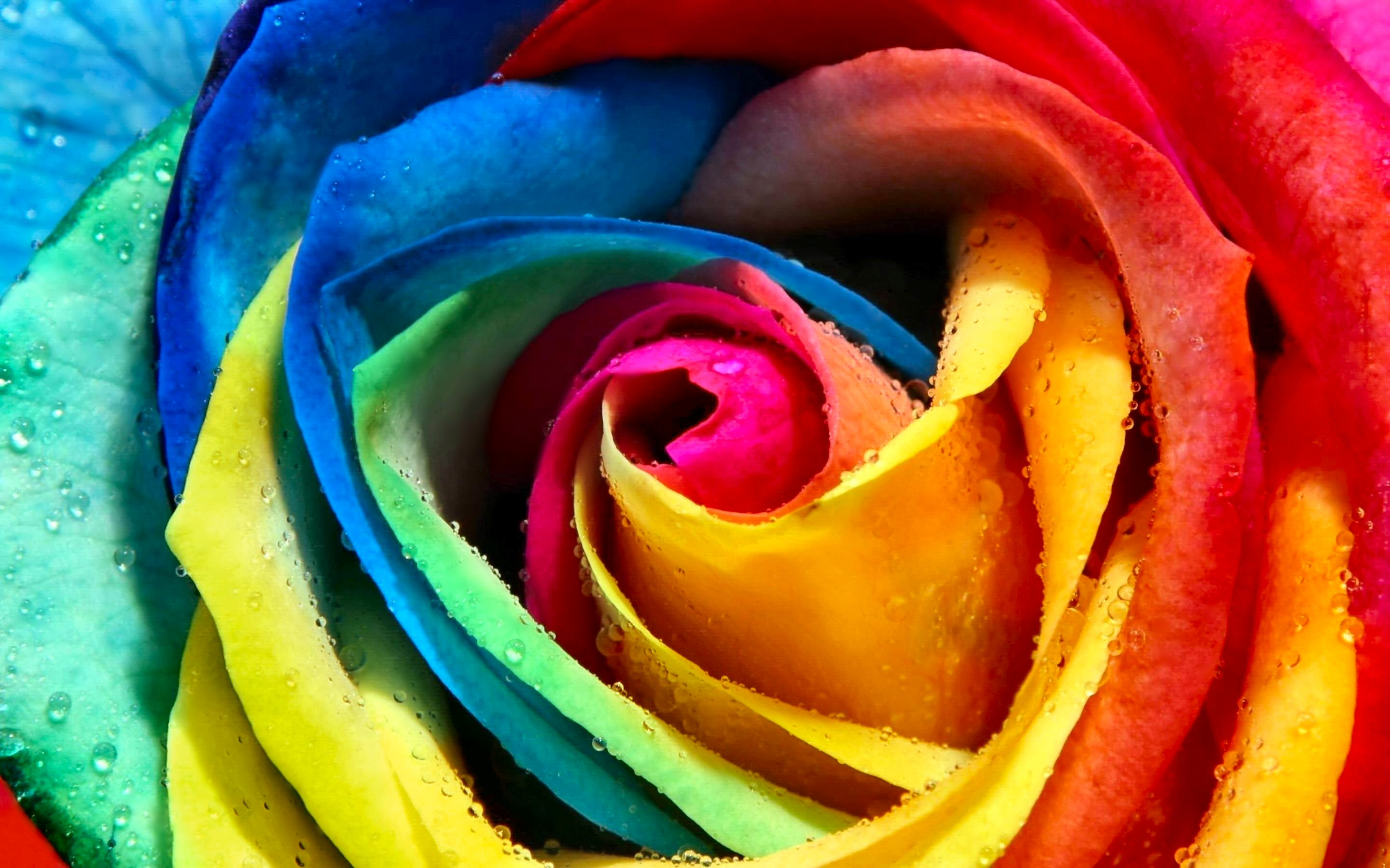 Flower 42 rainbow rose for jersey girl for Pics of colourful roses